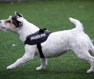 Telegraph article about dog harnesses